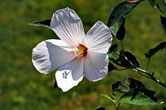 ...Luna White (Jim Atkins Sr) Tags: hibiscusmoscheutoslunawhite hibiscusmoscheutos hibiscus flower closeup macro dottylergardens tryonpalace olympuspenepm2 olympus northcarolina newbern backlit