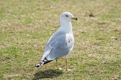 Ring Billed Gull 500_6009.jpg (Mobile Lynn) Tags: ringbilledgull gull birds nature bird charadriiformes coastal fauna gulls laridae wildlife kissimmee florida unitedstates us
