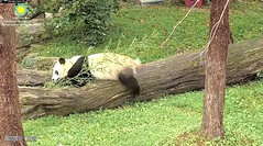 2018_08-22za (gkoo19681) Tags: beibei chubbycubby fuzzywuzzy adorableears feetsies 3rdbirthday celebrating icecake presents squaretubby sugarcane apples nanner fullbelly resting favoritelog danglingleg sotired naptime beingadorable comfy justbecausehecan sohandsome perfection tootired sillygoober passedout meltinghearts precious sohappy onapedestal toocute amazing toofunny birthdaywish ccncby nationalzoo
