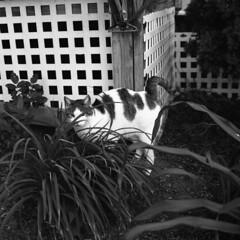 Prowling Cat (Kyle Michaels) Tags: zenzabronicasqa zenzanons80mmf28 zenzabronica bronicasqa bronica sqa 80mmf28 80mm f28 bw berggerpancro400 bergger pancro400 400iso 400asa rodinal150 rodinal 150 cat outdoors prowlingcat meow feline