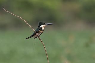 Green Kingfisher (Chloroceryle americana) - female