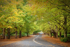 Autumn In The Avenue || MOUNT WILSON || BLUE MOUNTAINS (rhyspope) Tags: australia aussie nsw new south wales canon 5d mkii blue mountains bluemountains mt mount wilson mtwilson mountwilson avenue autumn fall foliage color colour trees woods forest travel rhys pope rhyspope road street rural country leaves drive roadtrip