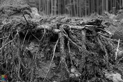 Sturmschäden II (v a n d e r l a a n . fotografeert) Tags: 201809072482 duitsland germany bodem boom bos forest grond monochrome monochroom soil stam stormschade sturmschäden tree trunk vakantie2018 vanderlaanfotografeert wald
