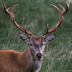 Red Deer 2 (simarknewman) Tags: red deer ashton court bristol 80d