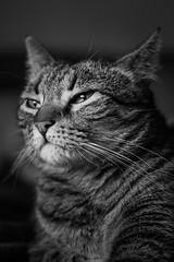 "Mi gato ""Gato"" (PabloJAG) Tags: gato cat pet mascota blancoynegro blackandwhite felino canon 50mm portrait retrato cats gatos"