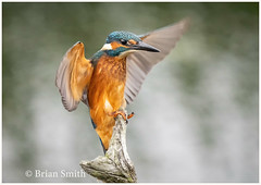 You Should Have Seen The One That Got Away (Greg's Old Feller) Tags: kingfisher bird birdwatching wildlife nature