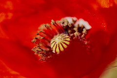 alien world / mundo alienígena (jdelaobra) Tags: canon6d canoneos6d jardíndelpríncipe aranjuez spain españa plantas jardín garden plant tokina100mmf28macro tokinaatxpro macrofotografía macro macrophotography red yellow rojo amarillo poppy amapola