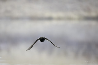Encounter of a Long-tailed Duck on a Misty Morning