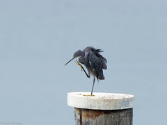 Airone schistaceo - Egretta Gularis (1) (riccardof55) Tags: uccelli birdwatching aironeschistaceo lazise