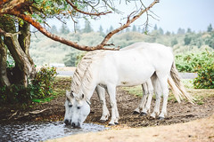 White Horses Drinking (rorycrocker) Tags: wild horses nikon d5200 35mm 18g new forest bournemouth drinking