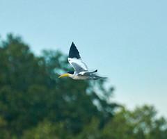 Large Billed Tern (tim ellis) Tags: amazon holiday rionegro iracema bird tern largebilledtern phaetusasimplex manaus brazil