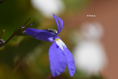 (heikecita) Tags: macro makro nikon d7200 plant blossom blue blau blüte pflanze blume