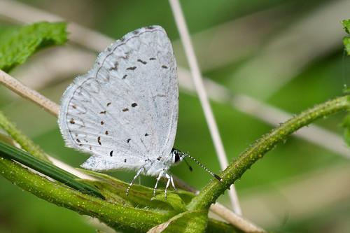 Photo - Hops Blue butterfly