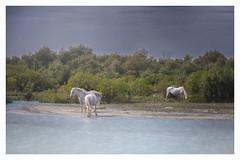 The white horses of the Camargue. (fotoerdmann) Tags: landscape landschaften frankreich canon6dmark2 fotoerdmann