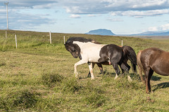 Þráinn has his job cut out for him with his 29 mares for the summer (olikristinn) Tags: 09082018 2018 august august2018 holtaoglandsveit holtsmúli holtsmúli1 holtsmúlii iceland icelandichorses landsveit rangárþingytra southiceland suðurland fráholtsmúlai hestar horses