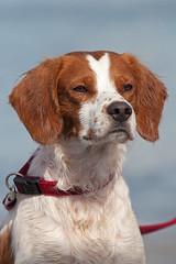 Rouge (lucafurìa) Tags: cani dog breton epagneulbreton