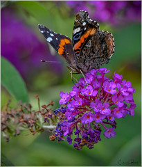 Red Admiral (Summerside90) Tags: insects butterflies redadmiral august summer backyard garden nature wildlife ontario canada