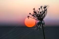 Red sun falls on the meadow. (agnieszka.a.morawska) Tags: bokehlicious beyondbokeh bkhq august summer helios helios44m nature dof macro meadow sunset bokeh