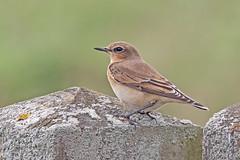 Wheatear (drbut) Tags: wheatear oenantheoenanthe bird birds avian migrant wildlife nature canonef500f4lisusm