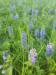 Ajuga reptans (Iggy Y) Tags: ajugareptans ajuga reptans spring blossom flower blue color flowers green leaves nature meadow plant puzavaivica bugle sunny day light
