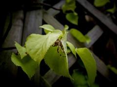 Hidden (J.C. Moyer) Tags: garden flora wood dark hidden leaves brown green panasonicdmcgx80 macro nature insect web spidersilk arachnid spider araneusdiadematus
