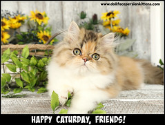 Happy Caturday, Friends! (dollfacepersiankittens.com) Tags: persian kittens for sale teacup calico tabby calicos cutekittenpictures cutekittens cutecatpictures kittensofinstagram catsofinstagram catstagram catsoftheworld catsofgoogle catlovers