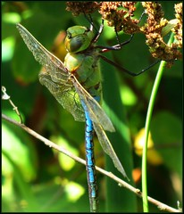 IMG_2910 Mean Machine 8-20-18 (arkansas traveler) Tags: dragonfly greendarner bichos bugs insects zoom telephoto nature naturewatcher natureartphotography