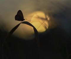 Butterfly and sunset. (agnieszka.a.morawska) Tags: summer nature helios helios44m bkhq bokehlicious beyondbokeh bokeh meadow sunset motyl butterfly