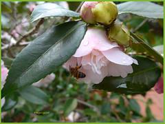 Camellia (1) (margaretpaul) Tags: garden homegarden blossoms flowers camellia bee honeybee