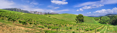 Vineyard Pano (fs999) Tags: 100iso fs999 fschneider aficionados zinzins pentaxist pentaxian pentax k1 pentaxk1 fullframe justpentax flickrlovers ashotadayorso topqualityimage topqualityimageonly artcafe pentaxart corel paintshop paintshoppro 2018ultimate paintshoppro2018ultimate beaumesdevenise vaucluse provence france pentaxfa35mmf2al fa35 35mm f2 f20 fa35f2 hoya hd nano cpl polarising filter filtre polarisateur polfilter stitched panorama assemblé zusammengesetzt microsoft ice image composite editor 5photos