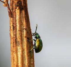 Beetle on the way up! (Jaedde & Sis) Tags: beetle climbing metallic challengefactorywinner thechallengefactory challengeyouwinner cyunanimous beginnerdigitalphotographychallengewinner bgpc