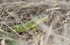 Western Green Lizard (Lactera bilineata) female - 1 of 2 images (willjatkins) Tags: wildlife nature animal reptile reptiles lizard lizards westerngreenlizard lacerta lacertabilineata alienspecies alienwildlife nonnative nonnativespecies nonnativewildlife britishreptiles britishwildlife britishreptilesandamphibians britishamphibiansandreptiles britishlizards ukwildlife ukreptiles ukreptilesandamphibians ukamphibiansandreptiles uklizards uklizard dorsetwildlife dorsetreptiles dorsetlizards closeup closeupwildlife macro macrowildlife nikon nikond610 sigma105mm