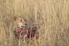 Breakfast (Michael Zahra) Tags: africa tanzania safari nature wildlife mammal lion lioness cub kill meat breakfast lunch dinner super hunt hunting predator carnivore vegetarian savannah grassland conservation animal