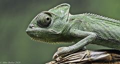 Eye to Eye!! (MWBee) Tags: chameleon appletonexotics northwestwildlifeworkshops nationalgeographicwildlife wigan macro mwbee nikon d750 sigma105mm