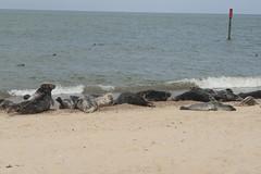 2018_Norfolk_HorseyBeach_Seals_22 (atkiteach) Tags: norfolk uk england horsey horseybeach sea seaside northsea beach seal seals