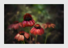 Seasons Come And Go ... (Christina's World Off and On) Tags: flowers coneflower redflowers red nature garden botanicgarden green textures painterly bright california colorful colors dark frame framing summer september sandiego usa unitedstates echinaceas coth5