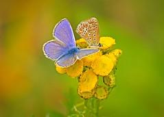 Icarus blues (Roland B43) Tags: butterfly vlinder commonblue icarusblue warandeputten oostkamp belgium