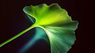 Ginkgo Biloba, Hoja / leaf.