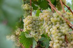 Grapes (bold.) Tags: subirats barcelonaprovince spain es llopart grapes cava champagne wine autumn green fruit penedes sant canon eos 6d ef 50mm f14 usm 50mmf14 fixed lens barcelona catalunya españa
