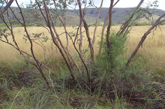 Eucalyptus gamophylla, Banjima Drive, Karijini National Park, WA, 11/04/18 (Russell Cumming) Tags: plant eucalyptus eucalyptusgamophylla myrtaceae banjimadrive karijininationalpark tomprice westernaustralia