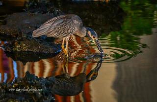 Night Heron Catch