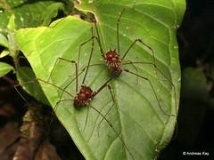 Harvestmen (Ecuador Megadiverso) Tags: andreaskay arachnida birdwatcherslodge cranaidae ecuador harvestman mindo opiliones