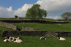 When Cows Lie Down.... (RoystonVasey) Tags: canon eos m 1855mm stm zoom north yorkshire dales ydnp clapham crummackdale crummack dale moughton scar austwick