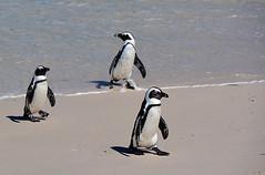 chacun de son côté  South Africa_6133 (ichauvel) Tags: manchots animaux animals mer sea sable sand plage beach régionducap bouldersbeach afriquedusud southafrica afrique africa voyage travel exterieur outside étéaustral jour day sedéplacer moving penguins pingouins getty