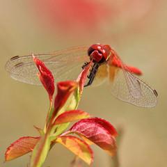 Red dragon... flies (Robyn Hooz) Tags: dragonfly libellula haiku delicate ali wings bokeh parco iris padova natura small magic bellezza
