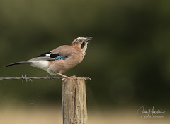 Eurasian jay (Ian howells wildlife photography) Tags: jay ianhowells ianhowellswildlifephotography nature naturephotography nationalgeographic canon canonuk wildlife wildlifephotography wales wild wildbird