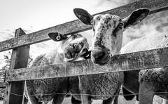 Stainton . (wayman2011) Tags: colinhart fujifilm18mmf2lightroom5 fujifilmxt10 wayman2011 bw mono rural villages sheep pennines dales teesdale stainton countydurham uk