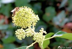 Abeille sur fleur de Lierre 01 (Jean-Daniel David) Tags: insecte insectevolant abeille fleur lierre grosplan closeup macro bokeh réservenaturelle vert verdure feuille yverdonlesbains suisse suisseromande vaud