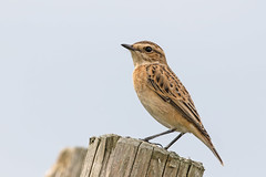 Whinchat (drbut) Tags: whinchat saxicolarubetra chat avian bird birds wildlife nature canonef500f4lisusm