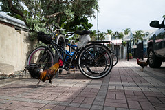 Key West - Little Red Rooster (In.Deo) Tags: keywest florida unitedstates street rooster